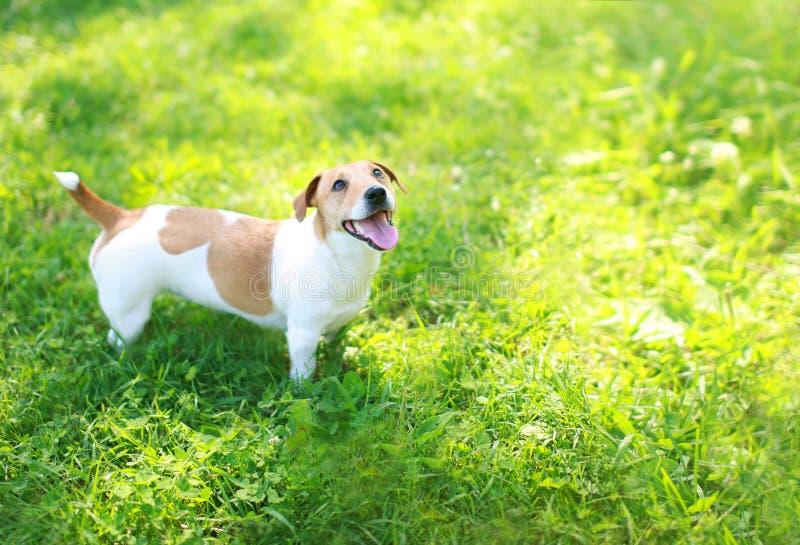 Perro feliz de Jack Russell Terrier el verano de la hierba verde en el día soleado que mira para arriba fotografía de archivo libre de regalías