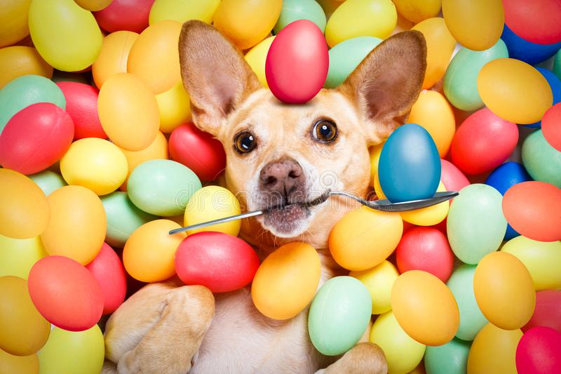 Perro feliz de pascua con los huevos imagenes de archivo