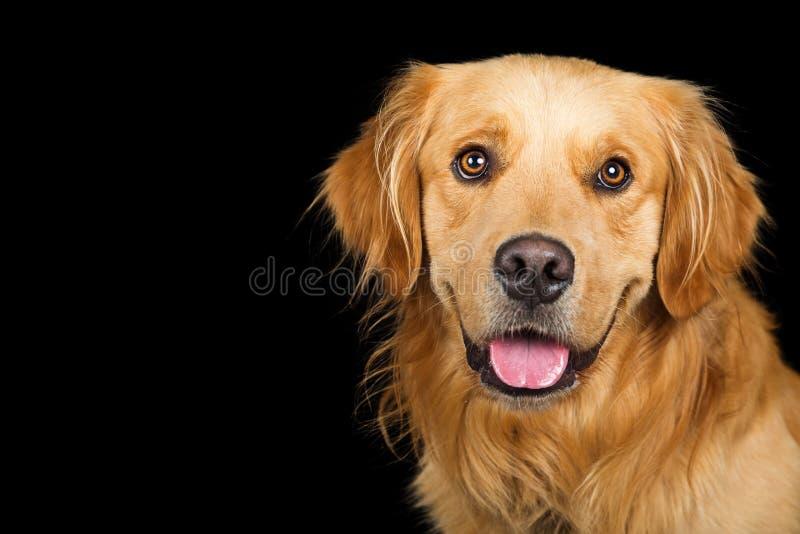Perro feliz del golden retriever del retrato sobre negro foto de archivo