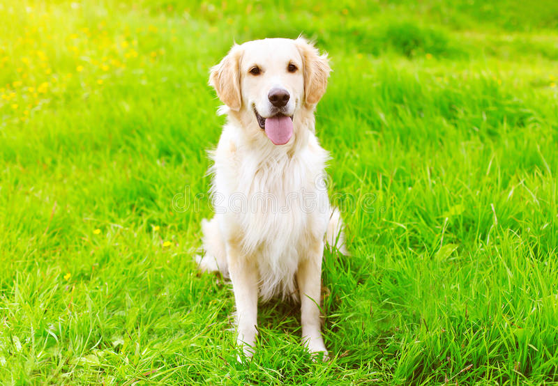 Perro feliz del golden retriever que se sienta en la hierba verde fotografía de archivo libre de regalías