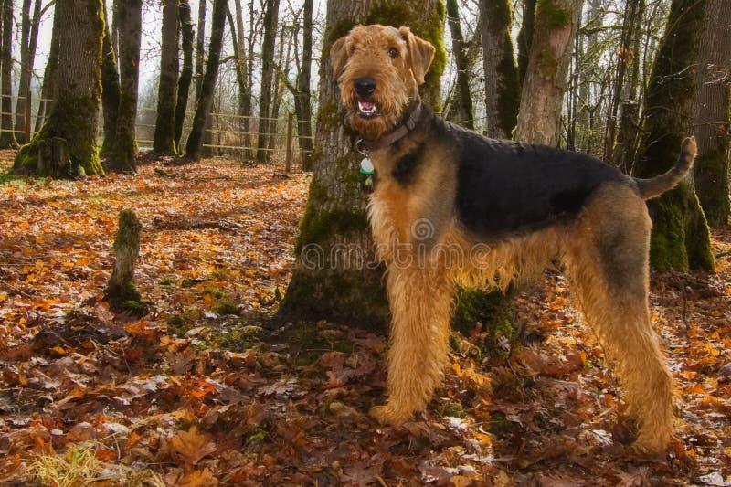Perro feliz del terrier del airedale en la configuración del otoño foto de archivo libre de regalías