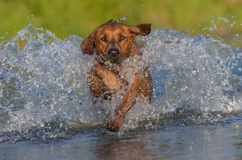 Perro feliz en el río foto de archivo