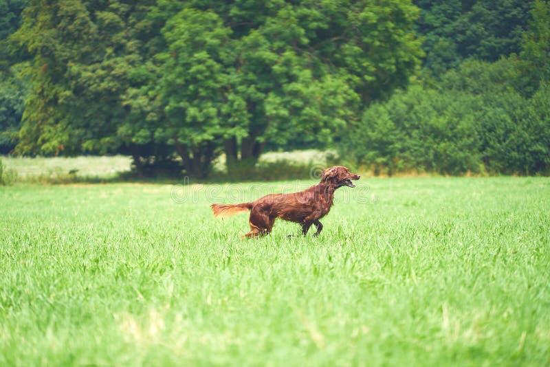 Perro feliz Irish Setter que corre en la hierba en verano imagen de archivo libre de regalías