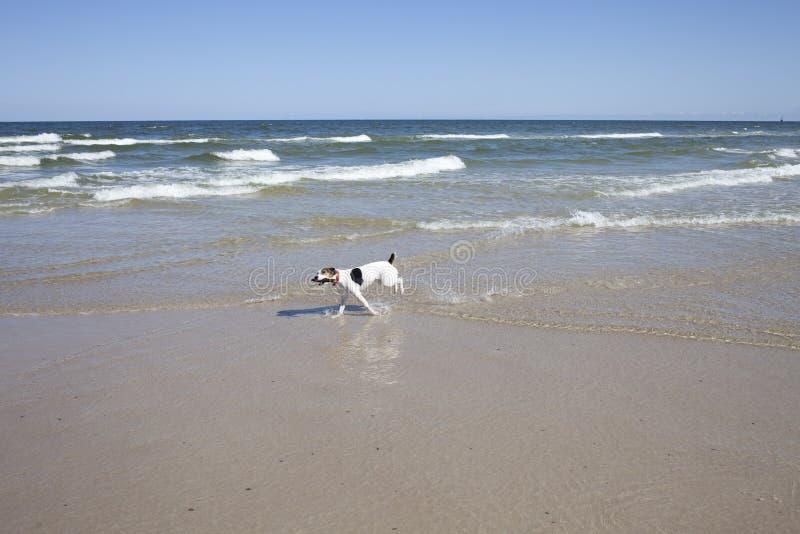 Perro feliz que corre en la costa con un palillo en su boca imagenes de archivo
