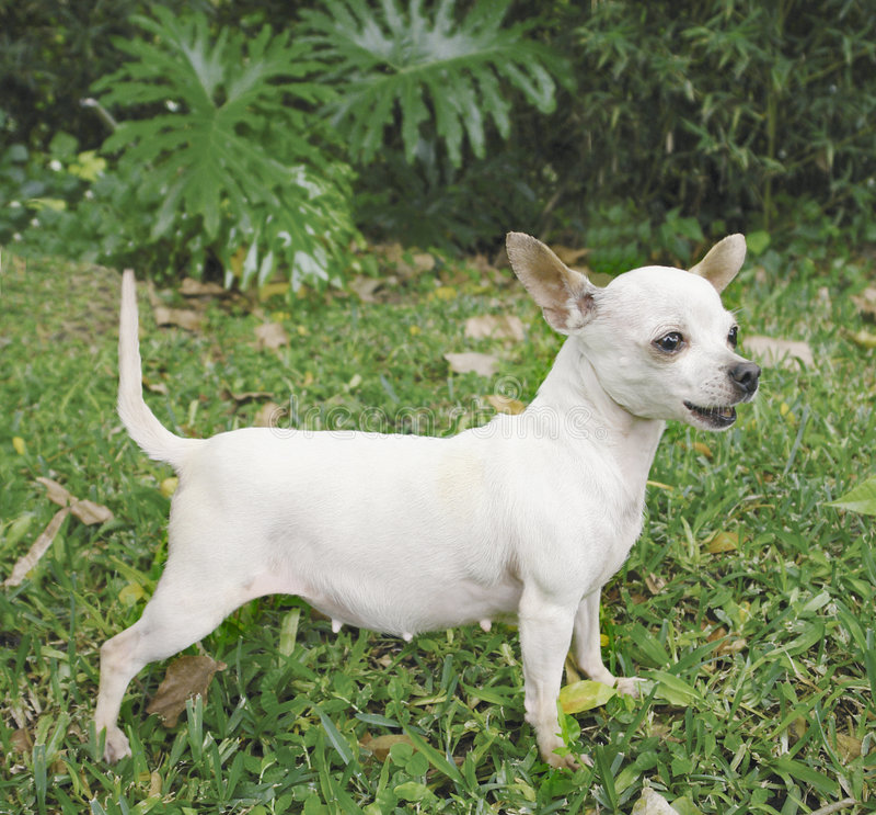 Perro femenino de la chihuahua imagen de archivo