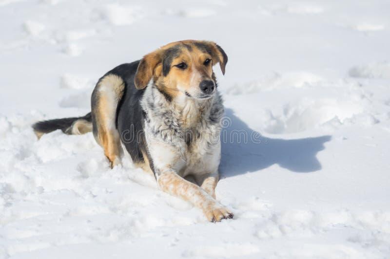 perro femenino de la Mezclado-raza que miente en nieve profunda imagen de archivo libre de regalías