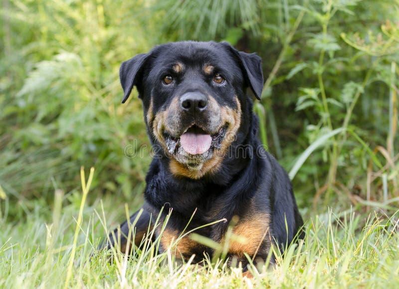 Perro femenino mayor de Rottweiler del alemán imagenes de archivo