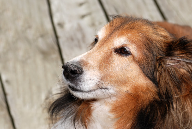 Perro femenino viejo del sheltie imagenes de archivo