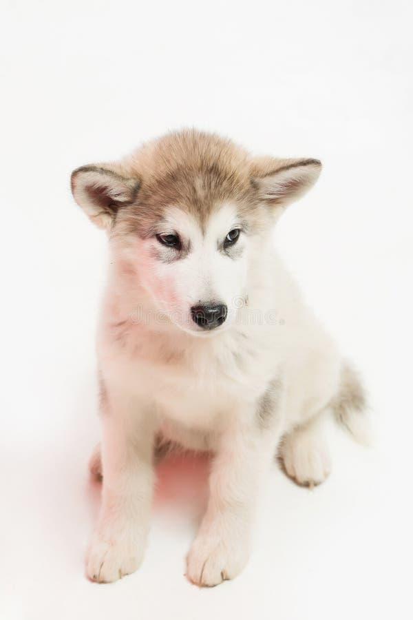 Perro fornido aislado en blanco imagenes de archivo