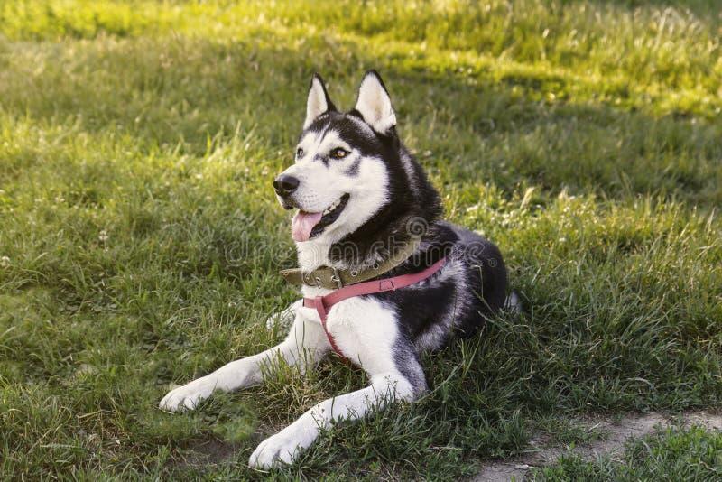 Perro fornido blanco que se sienta en la hierba con la lengua hacia fuera al esperar la comida imagen de archivo