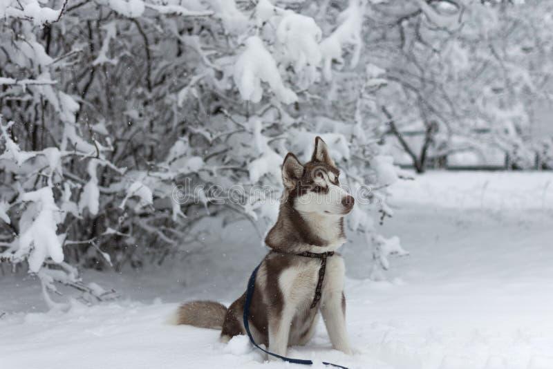 Perro fornido que se sienta en el parque nevoso foto de archivo