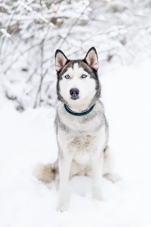 Perro fornido que se sienta en la nieve imágenes de archivo libres de regalías