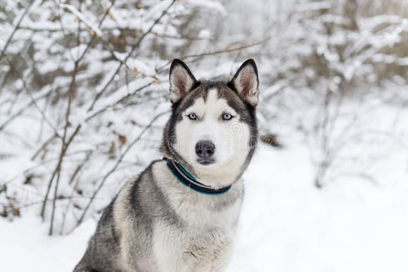 Perro fornido que se sienta en la nieve fotos de archivo