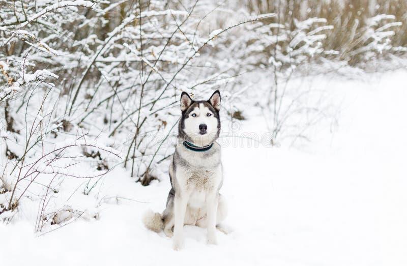 Perro fornido que se sienta en la nieve foto de archivo libre de regalías