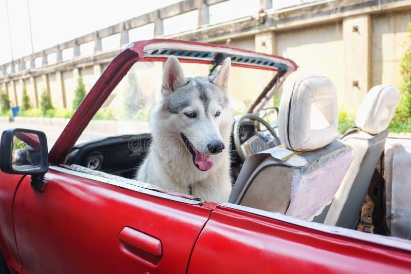 Perro fornido sonriente lindo que se sienta en coche fotografía de archivo libre de regalías