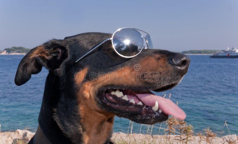 Perro fresco con las gafas de sol foto de archivo