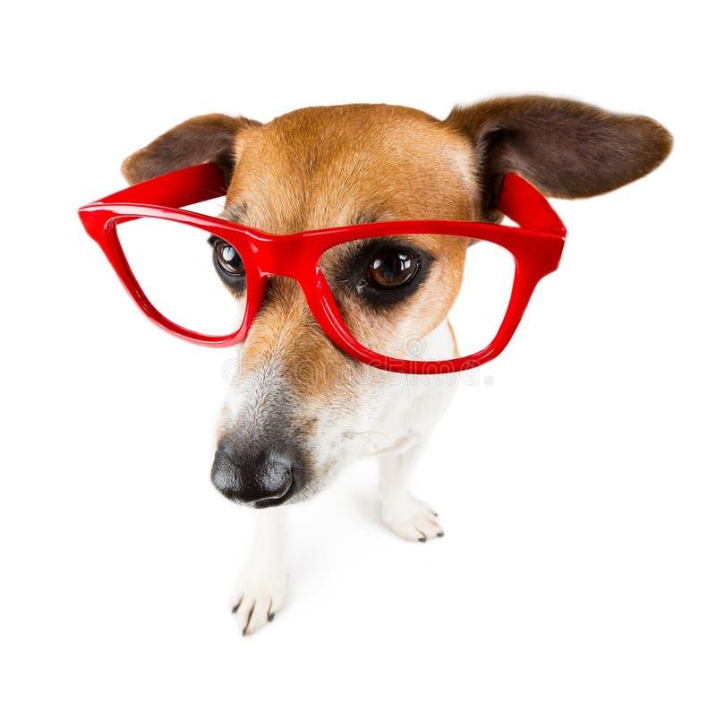 Perro fresco con los vidrios rojos foto de archivo
