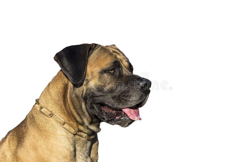 Perro grande Boerboel foto de archivo