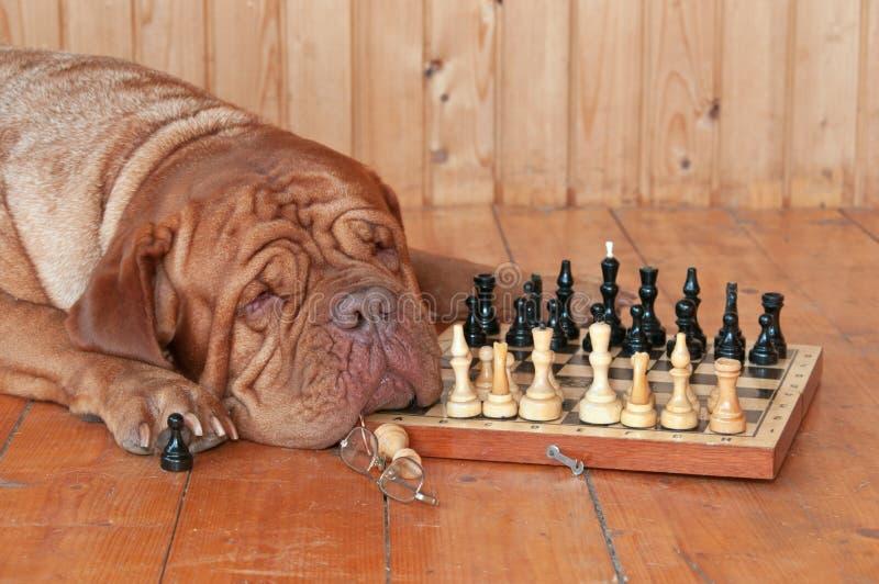 Perro grande con la tarjeta de ajedrez imagen de archivo libre de regalías