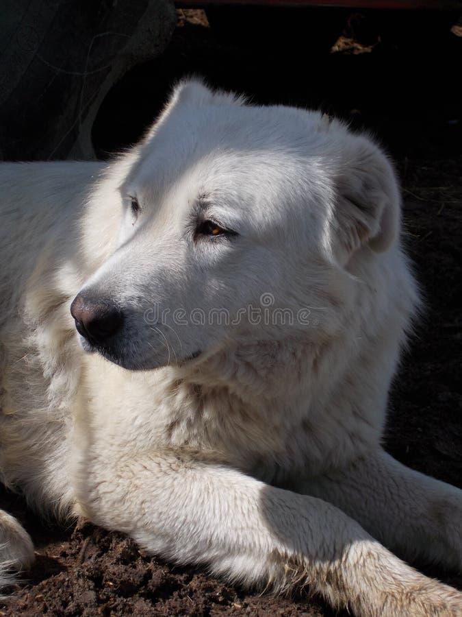 Perro grande del guarda de las ovejas de Maremma fotografía de archivo