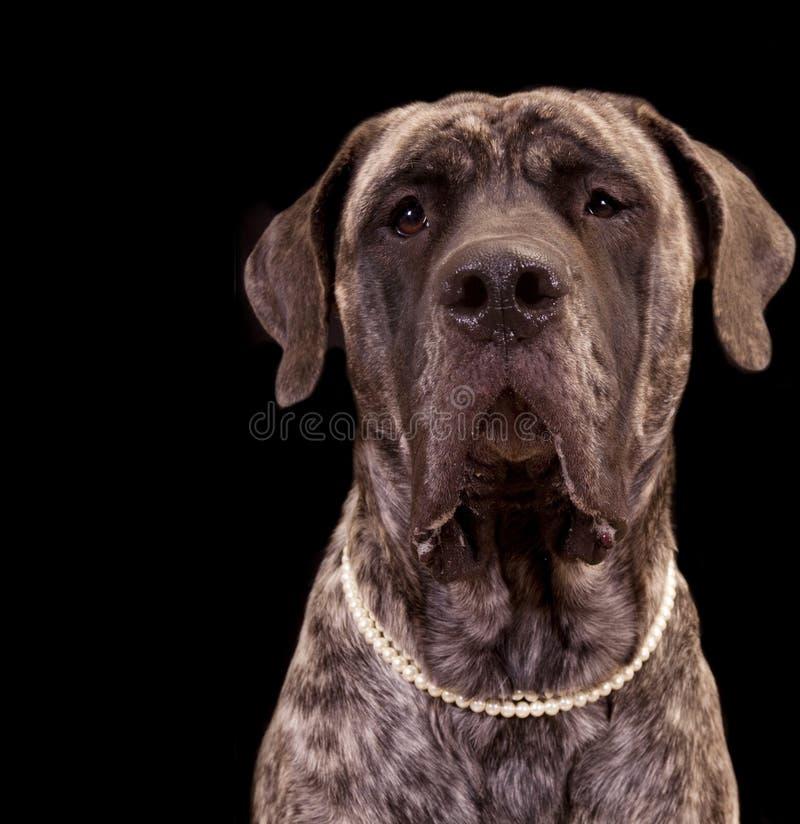 Perro grande del mastín imagenes de archivo