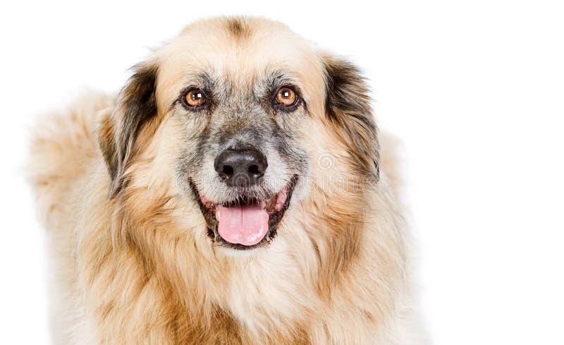 Perro grande feliz del híbrido contra blanco imagen de archivo libre de regalías