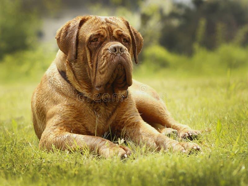 Perro grande - mastín de Burdeos fotografía de archivo