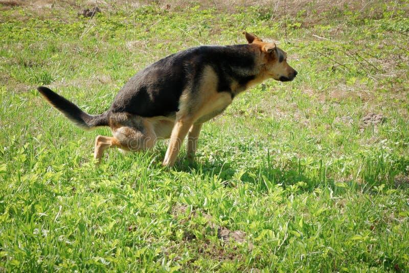 Perro grande que defeca en la hierba en el parque fotografía de archivo