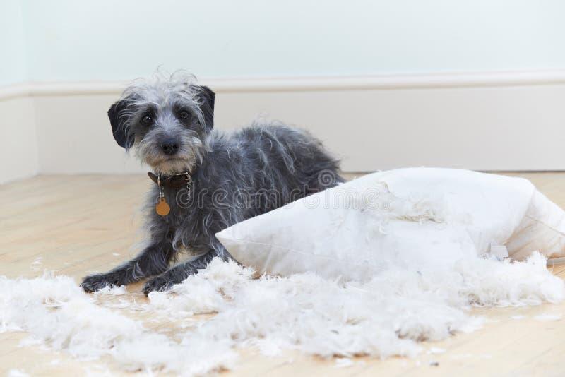 Perro gravemente comportado que rasga para arriba el amortiguador en casa imagen de archivo