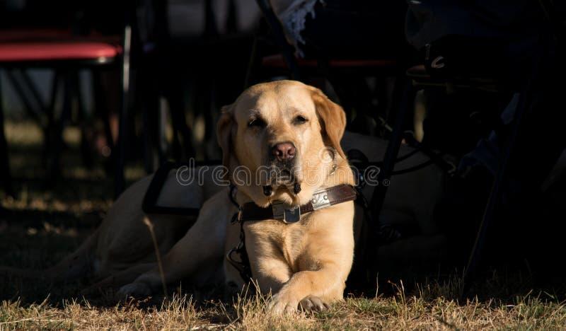 Perro guía imagen de archivo