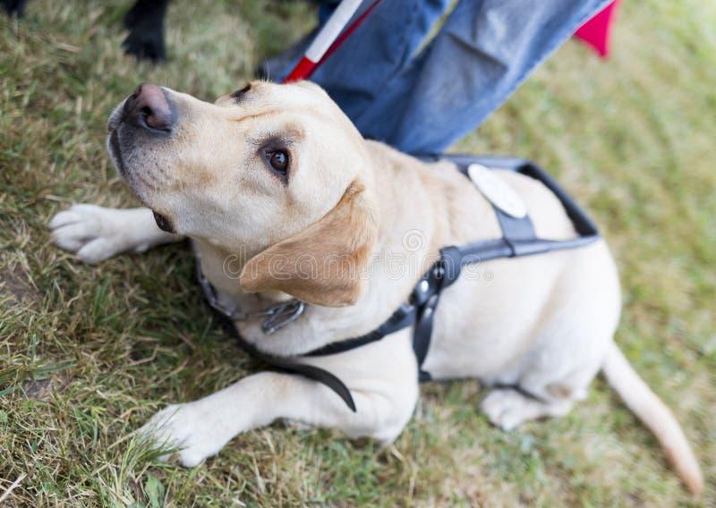 Perro guía del golden retriever fotos de archivo