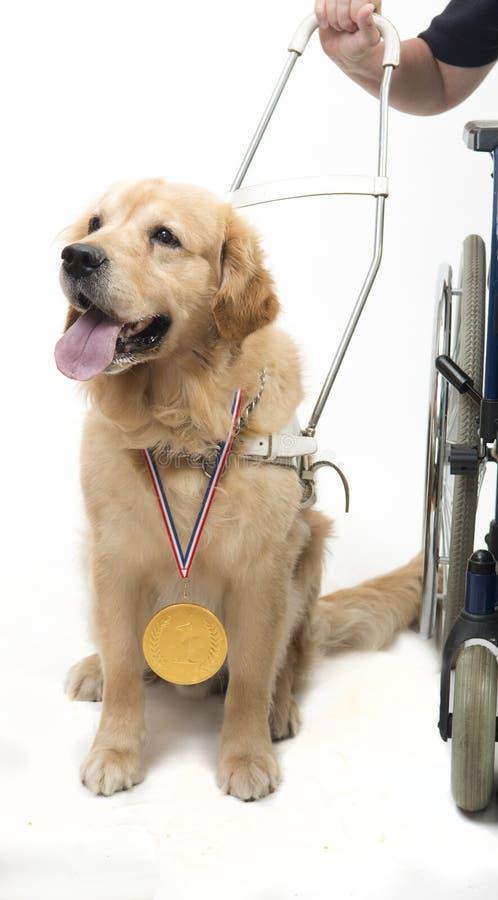 Perro guía y silla de ruedas aislados en blanco foto de archivo