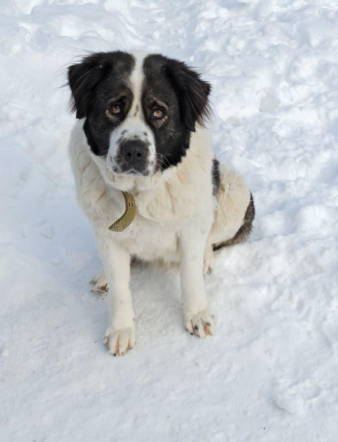 Perro guardián de Moscú que se sienta en la nieve imagenes de archivo