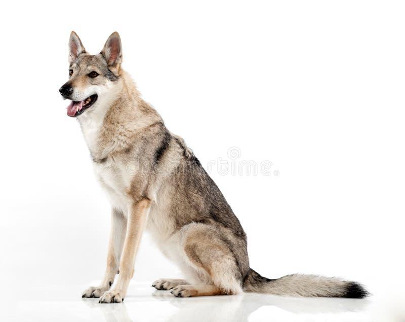 Perro híbrido checoslovaco del lobo imágenes de archivo libres de regalías
