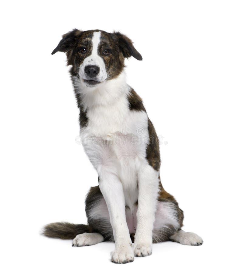Perro híbrido delante del fondo blanco fotografía de archivo