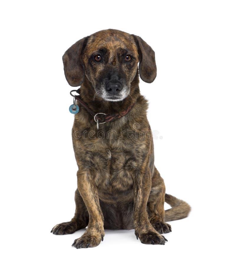 Perro híbrido viejo que se sienta contra el fondo blanco imagenes de archivo