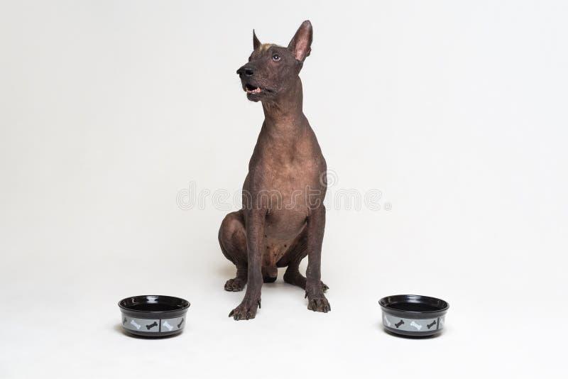 Perro hambriento entre dos cuencos el xoloitzcuintli, perro sin pelo mexicano, esperando y mira para arriba para tener su cuenco  fotografía de archivo