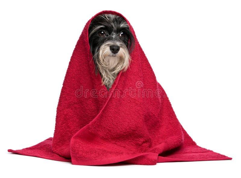 Perro havanese blanco y negro mojado después del baño imagen de archivo