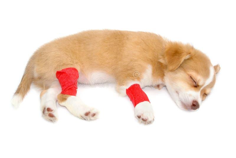 Perro herido de la chihuahua con los vendajes imagen de archivo libre de regalías