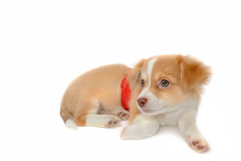 Perro herido de la chihuahua con los vendajes imagenes de archivo