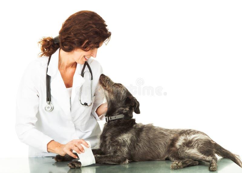 Perro herido que mira para arriba el veterinario que cuida imagen de archivo libre de regalías
