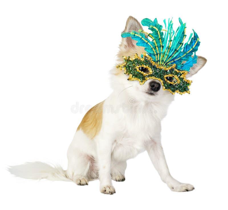 Perro hermoso de la chihuahua con la máscara brillante del carnaval imagen de archivo