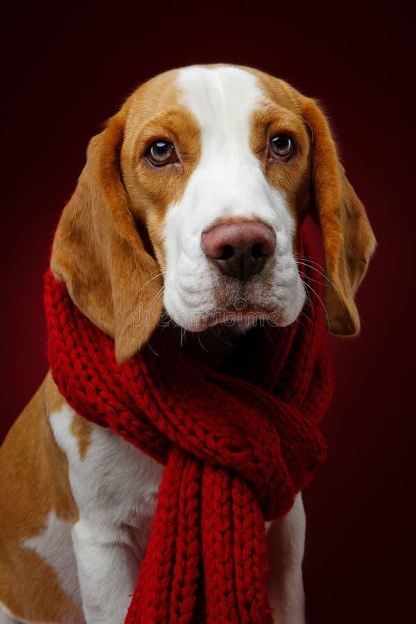 Perro hermoso del beagle imagen de archivo