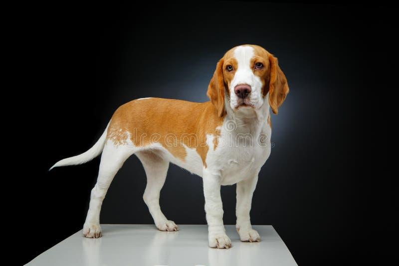 Perro hermoso del beagle imagen de archivo libre de regalías