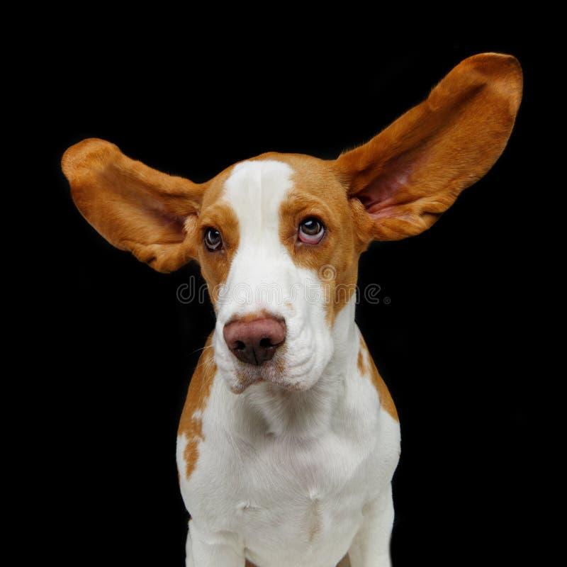 Perro hermoso del beagle fotos de archivo libres de regalías