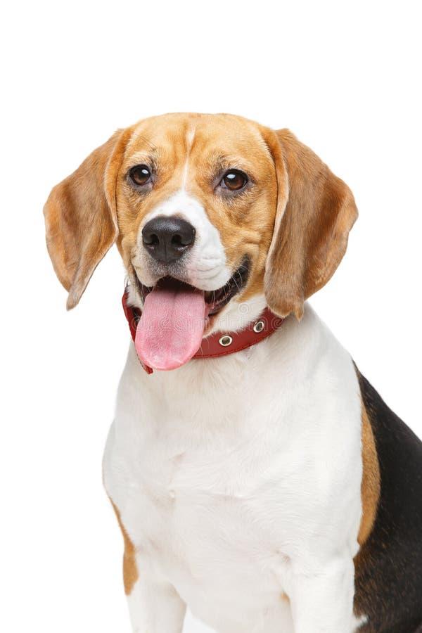 Perro hermoso del beagle aislado en blanco fotos de archivo
