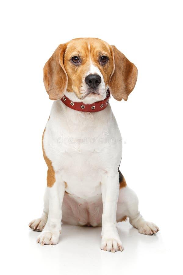 Perro hermoso del beagle aislado en blanco imagen de archivo libre de regalías