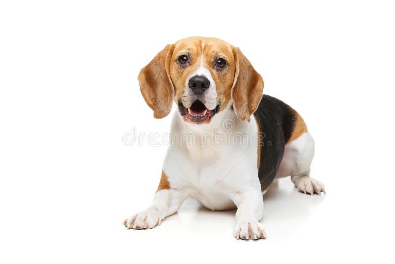 Perro hermoso del beagle en blanco fotografía de archivo