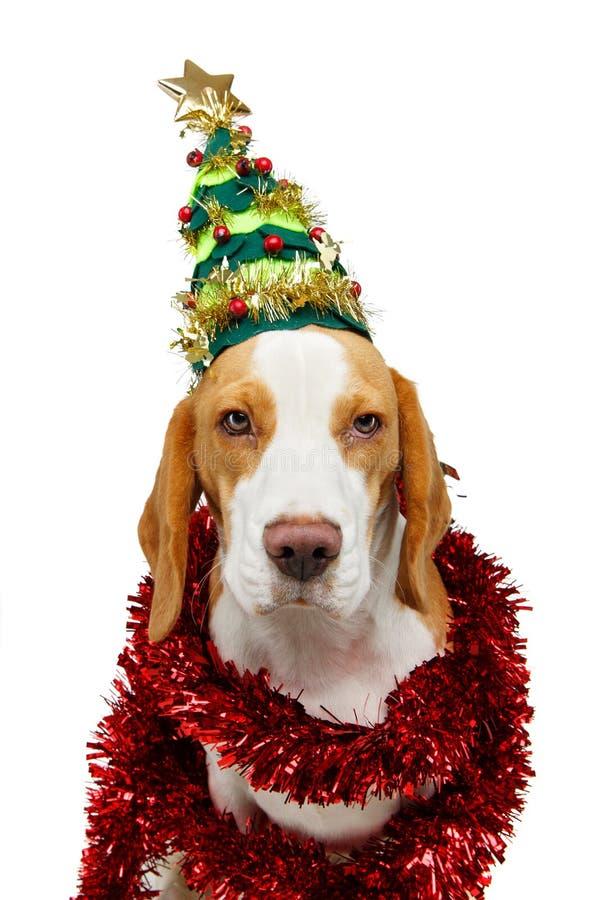 Perro hermoso del beagle en sombrero del árbol de navidad foto de archivo