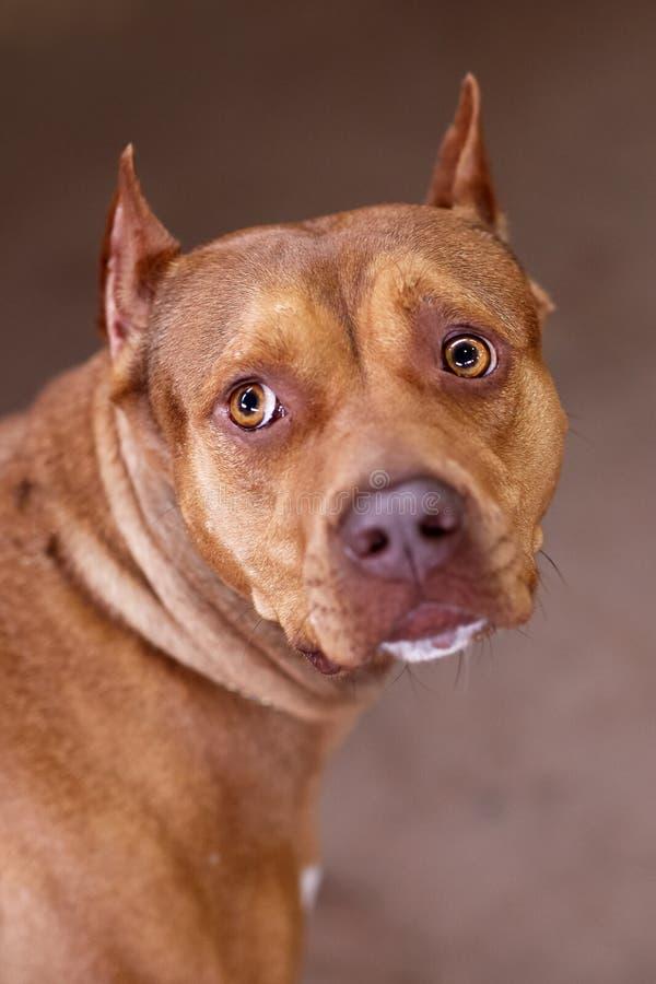 Perro hermoso del jengibre de la raza del terrier de PitBull del americano, hembra roja con la mirada melanc?lica, corte del o?do imagen de archivo